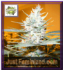 Cream of the Crop Auto Amphetamine Fem 5 Seeds